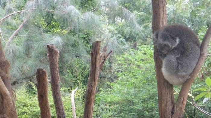 Koala resting in the Healesville sanctyary, Australia