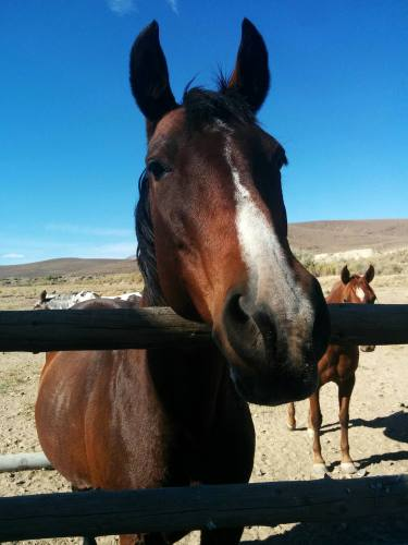 A beautiful brown horse leans over a ranch fence curiously