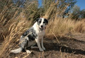 Australian cattle dog on a farm