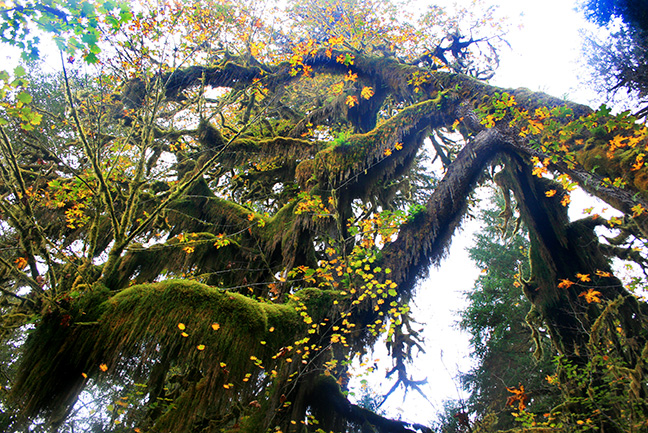 A large tree in the Hoh rainforest