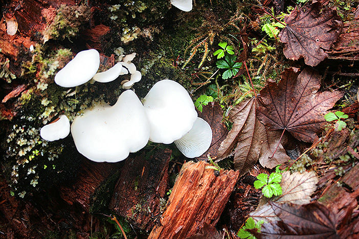 White mushrooms close up in forest