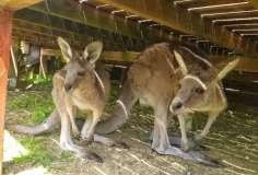 Kangaroos hiding